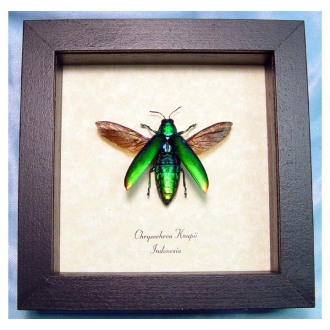 The jewel beetle from Indonesia, resting in its most familiar habitat on eBay.
