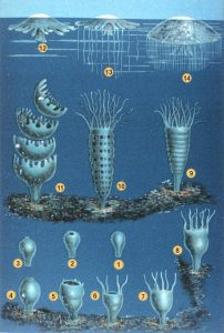 The process from polyp to jellyfish usually progresses from stage 1 to 14. Turritopsis dohrnii can reverse the process back to 8 to heal itself of injuries. Click for a larger version.