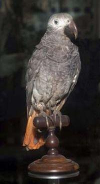 duchess african grey parrot