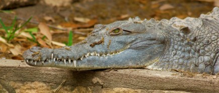 Oronoco crocodile