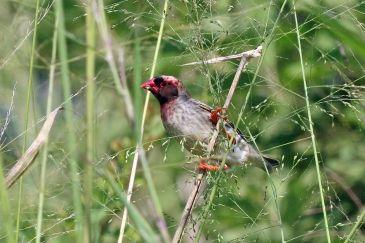 Red-billed_quelea_(Quelea_quelea_aethiopica)_male_breeding_plumage_pink