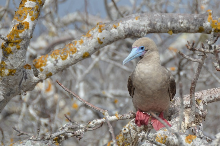 Red Footed Booby Galapogos.jpg