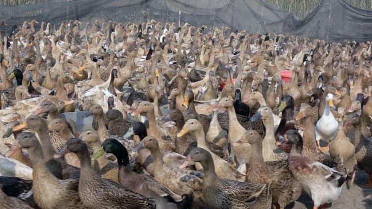 Duck_Hash_Farm_Pic-3
