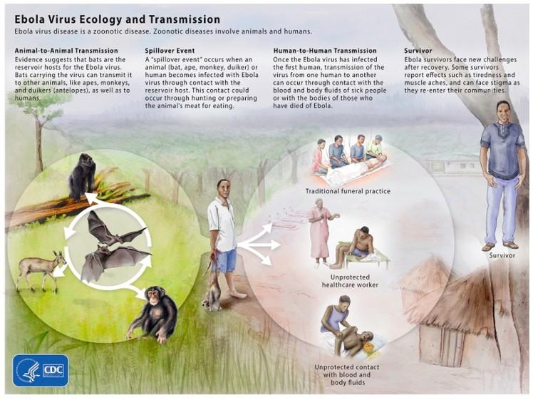 Ebola Life Cycle
