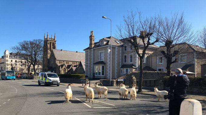 Goats in Welsh Town