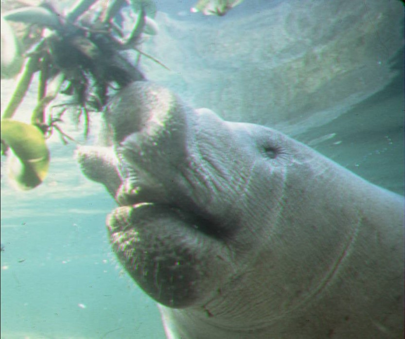 This image has an empty alt attribute; its file name is manatee-mouth-parts.jpg